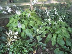 Flowering Hosta's