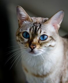 Pin by Christine Sutcliffe on Interesting things. Pretty Cats, Beautiful Cats, Siamese Cats, Cats And Kittens, Animals And Pets, Baby Animals, Cat Photography, Warrior Cats, Cute Funny Animals