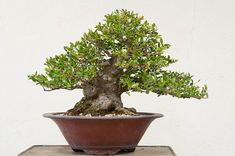 Yaupon holly has been on my mind this week. I'm doing a demonstration on one tonightat a club meeting of the American Bonsai Association, Sacramento,and have been collecting notes on their care. Since I began working on Yaupon holly – known formally as Ilex vomitoria – I've grown to really appreciate the variety. It's well …