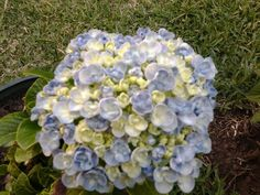 Una hortensia hermosa, mi jardin
