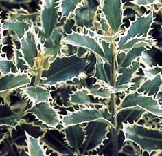 Ilex argintiu (Ilex aquif. Silver Queen)