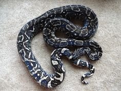 Jasmine (hypermelanistic anery Long Tail Boa - boa constrictor longicauda) shed this morning and was looking lovely.