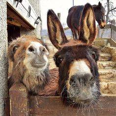If you wonder what a donkey can eat, you can find all important feeding facts here. Take good care of your donkey with best information. Pet Donkey, Mini Donkey, Beautiful Horses, Animals Beautiful, Farm Animals, Animals And Pets, Burritos, Miniature Donkey, Tier Fotos
