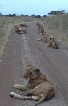 Lioness at Nairobi National Park #KENYA ...... Also, Go to RMR 4 awesome news!! ...  RMR4 INTERNATIONAL.INFO  ... Register for our Product Line Showcase Webinar  at:  www.rmr4international.info/500_tasty_diabetic_recipes.htm    ... Don't miss it!