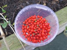 Goji Berry- harvest in the Autumn