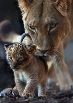 First steps  @SWildlifepics Beautiful Cats, Animals Beautiful, Beautiful Creatures, Hello Beautiful, Beautiful Family, Beautiful Pictures, Cute Baby Animals, Animals And Pets, Wild Animals