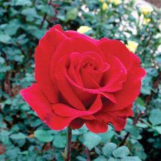 Mister Lincoln        An award-winning rose born in 1965 that's just as popular today, it features rich, velvety-red roses packed with a strong fragrance. Some rose experts say 'Mister Lincoln' set the standard for red roses.        Size: To 7 feet tall and 4 feet wide        Zones: 5-9