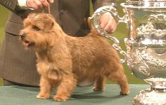 Crufts Best in Show - Cracknor Cause Celebre -  Norfolk Terrier