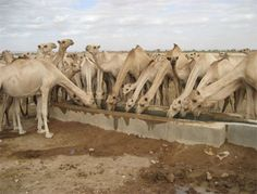 Camels enjoying safe water at one of Voss Foundation's Ethiopia projects. www.thevossfoundation.org