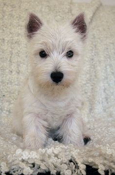 westie puppy  I want so bad!