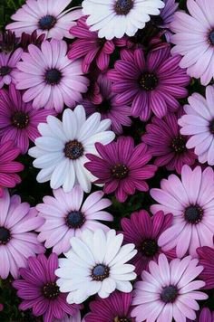 (Osteospermum) Single daisy flowers in shades of white, lavender, and purple. Blue centers accented by bright orange stamens. Sturdy, well-branched plants are loaded with blooms. Amazing Flowers, My Flower, Flower Power, Beautiful Flowers, Flower Art, Simple Flowers, Colorful Flowers, Purple Wallpaper, Flower Wallpaper