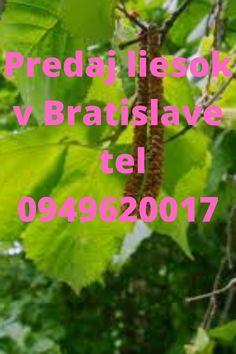 cena od 10 eur, viac na 0949620017 a filipsuman666@gmail.com Bratislava, Parsley, Herbs, Herb, Spice