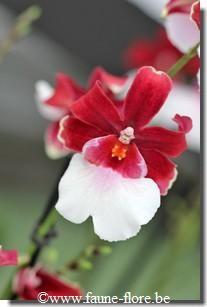 Intergeneric Orchid miltonidium bartley schwartz highlands | Miltonidium Bartley Schwartz Highland (Miltonidium)