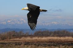 A regular sight while exploring the Nisqually National Wildlife Refuge.