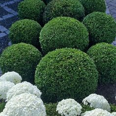 🌳🌳☘ #whitegarden #boxwood #mygarden #garden