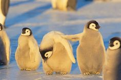 """Baby Penguins"""" Iv'e got your back"""" Ha Ha He He Nature Animals, Animals And Pets, Baby Animals, Funny Animals, Cute Animals, Penguin Love, Baby Penguins, All Gods Creatures, Cute Cartoon Wallpapers"""