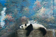 Panda #panda #fotografia #animali