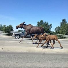 Moose running on the highway in Fairbanks Alaska. From my sister in-law.