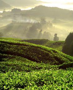 tea field .. I <3 tea.