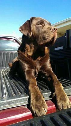 Chocolate labrador ♥