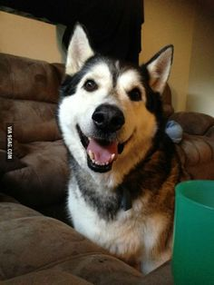 The rescue said he was between 12 and 16 years old. Welcome home my 230lbs Malamute Cyrus!