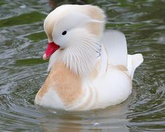 Canard mandarin albinos : la Ferme de Beaumont, Mandarin et carolin