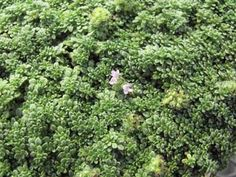 """Minus Thyme  Thymus praecox articus 'Minor'  Uses: Aromatic Duration: Perennial (hardy in zones 5-9)    Ground hugging low thyme, lower than other varieties. Dense, tight-fitting foliage, pink flowers. Excellent for pathways. Never exceeds 2cm/1""""."""