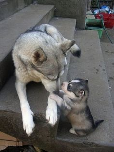 So adorable. Huskies, corgis, horses (too many cats though). | 35 Animals Hanging Out With Miniature Versions Of Themselves