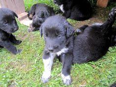 """Über 1.000 Ideen zu """"Labradormischlinge auf Pinterest   Labrador ..."""
