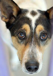 DAISY  4 years 1 month 4 days Australian Cattledog Large • Female Located in McKinney ID: 19052