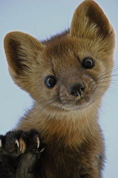A preciously adorable little baby pine martin. So sweet! #cute #animals #pine #martin #wildlife