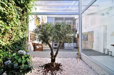 Winter Garder at the Gallery Hostel with 45 year old olive tree