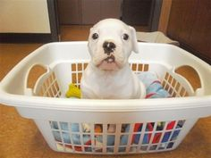15 Puppies in Laundry Baskets
