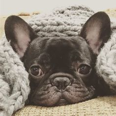 """""""Dear Winter, I'm over you""""... """"I'm ready for a Spring Fling"""", Frozen French Bulldog ; }"""