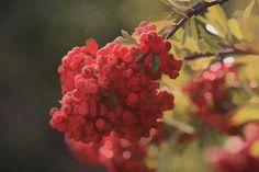 Title  Blushing Berries   Artist  Kandy Hurley   Medium  Photograph - Prints