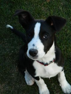 short-haired border collie named Buddy