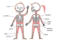Bloc dels alumnes de 3r de Maristes Sants: Repassem els ossos i músculs