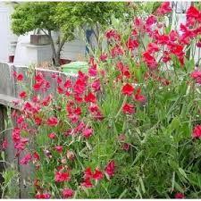 Liście są drobne, eliptyczne - jednak część z nich przekształca się w wąsy czepne. Motylkowate, intensywnie pachnące kwiaty zebrane są w grono. Kwiaty mogą mieć barwę białą, żółtą, różową, pomarańczową lub niebieską. Kwitnie od czerwca do sierpnia. Owocem jest strąk.