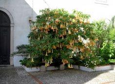Trompeta îngerilor în Portugalia Europe, Plant