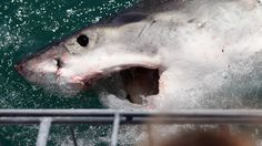 The great white shark drought at Neptune Islands is over with the first sightings in months at the weekend. The drought has lasted more than two months after a great white shark was attacked and killed by a group of killer whales at the Neptune Islands in February.