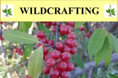 How to use wild plants (weeds) for food, medicine, crafts and other uses.