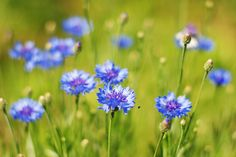 Cornflowers Copyright: Igor Strukov ID 20764001 Dreamstime Stock Photo