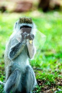 Macaco a comer/Monkey eating by Hugo Macedo – Moderimage