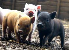curious little piggies!