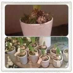 Planta svibler med mose og kongler.