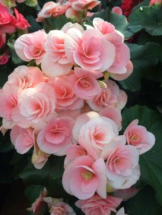 begonias - Yahoo Image Search Results