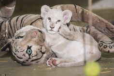 Lion around: The incredibly rare white cub is pictured scratching her face with her paw on Thursday while cuddling up to a toy tiger