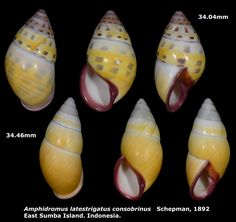 https://flic.kr/p/uAfiHb | Amphidromus latestrigatus consobrinus 34.04 & 34.46mm | Phylum: Mollusca 軟體動物門 Class: Gastropods 腹足綱 Family: Camaenidae 南亞蝸牛科 Scientific name: Amphidromus latestrigatus consobrinus Chinese name: Author: Schepman, 1892 Size: 34.04 & 34.46mm Description: On short trees and bushes, East Sumba Island. Indonesia. November 2014.  More detail photo, please click the following link.
