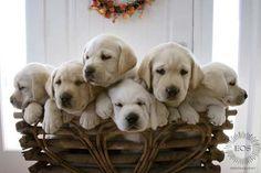 Basket full of Labs...awwww!