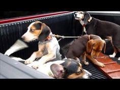 Beagle Boys Rabbit Hunting - Running the Hounds 8-8-13 | Beagle Planet